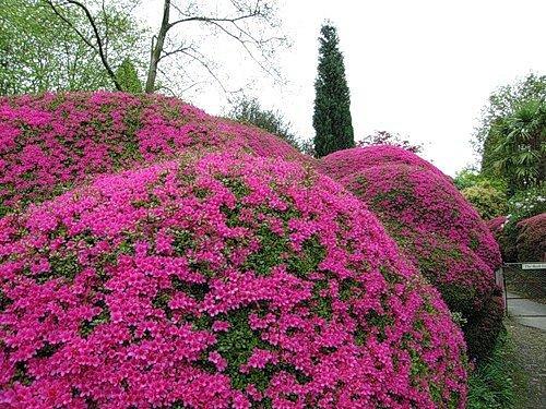 Декоративные цветущие кустарники в саду