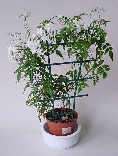 комнатные растения лианы