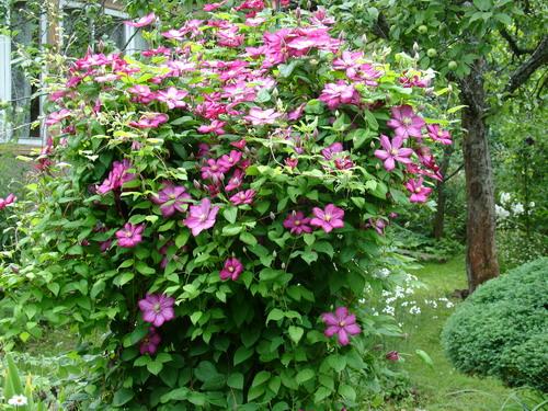 лиана цветок