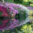 Цветы анемона