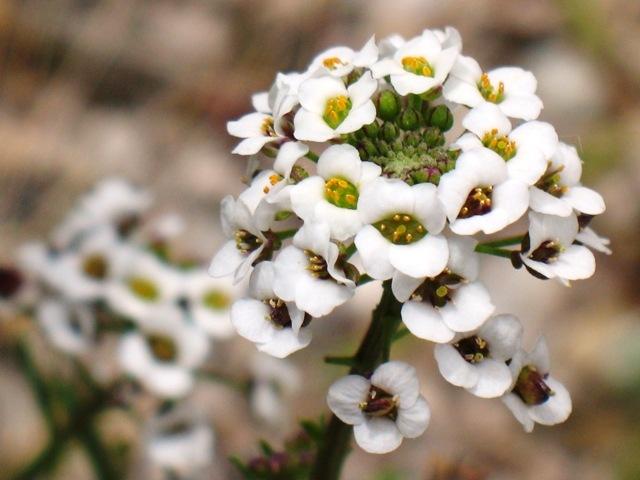 алиссум выращивание из семян