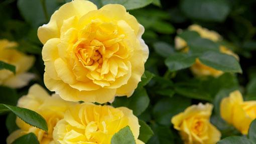 английские парковые розы