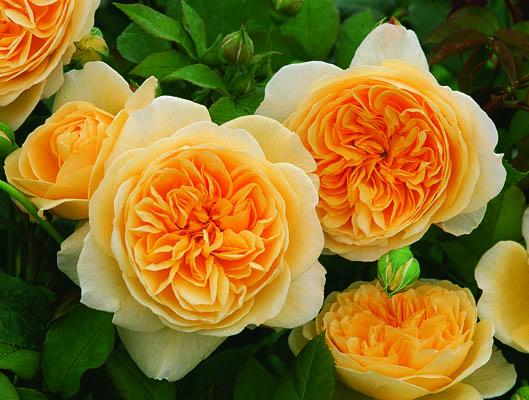 английские розы фото
