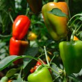 Уход за перцами в теплице