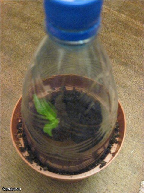 Как посадить гортензию