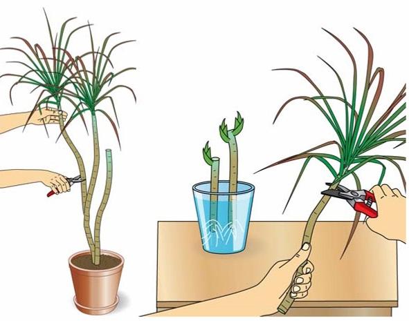 как размножить драцену