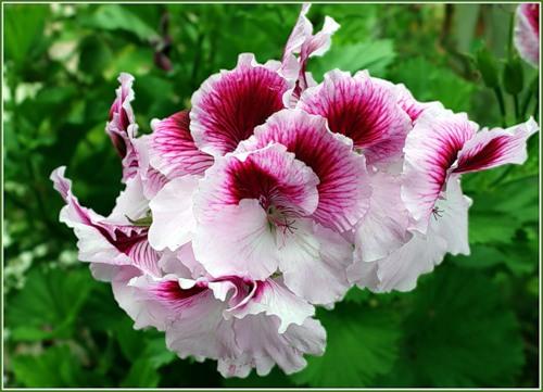 Комнатные цветы герань уход