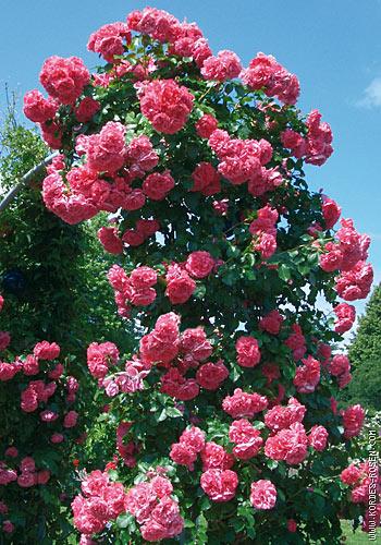 плетистая роза выращивание и уход