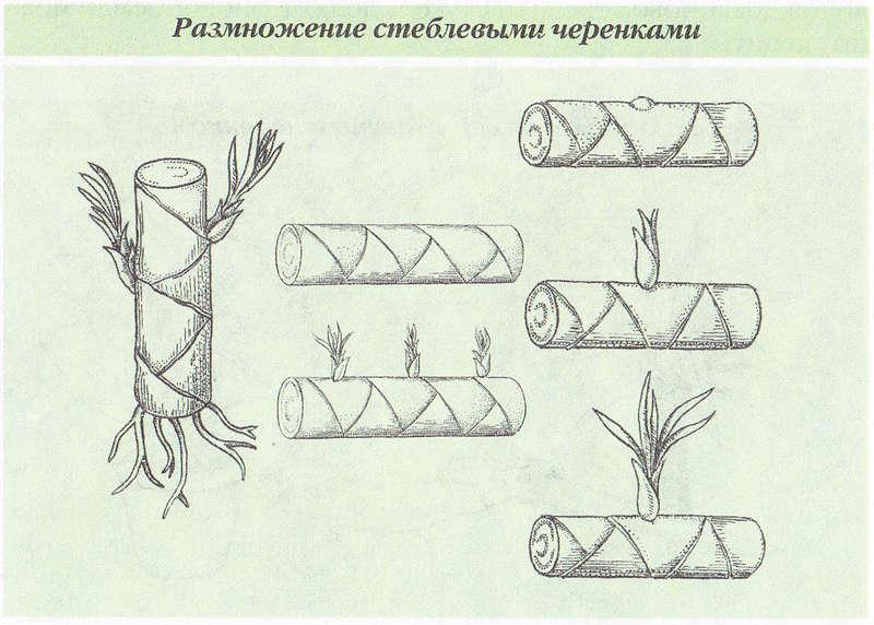 размножение драцены черенками в картинках