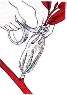 драцена маргината