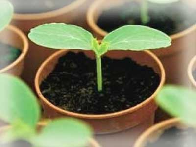 клеома выращивание