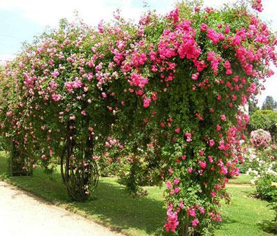 Розы в садах и парках фото