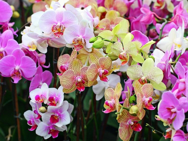 орхидея фаленопсис уход