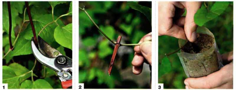 размножение клематисов зелеными черенками