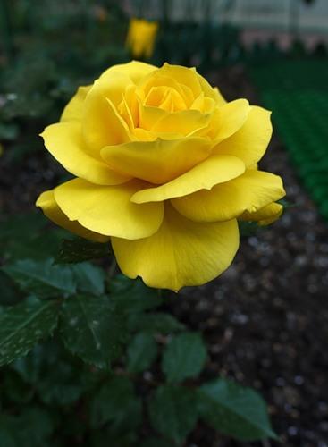 роза флорибунда фото