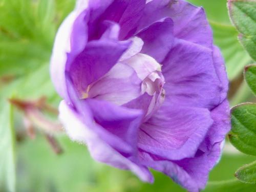 герань садовая посадка и уход