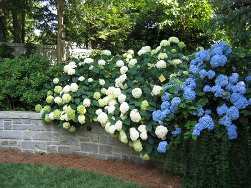гортензия голубая садовая