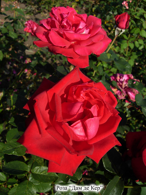 чайно гибридные розы уход