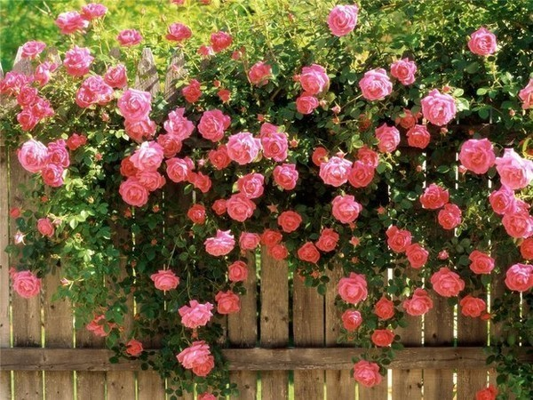 чайно гибридные розы