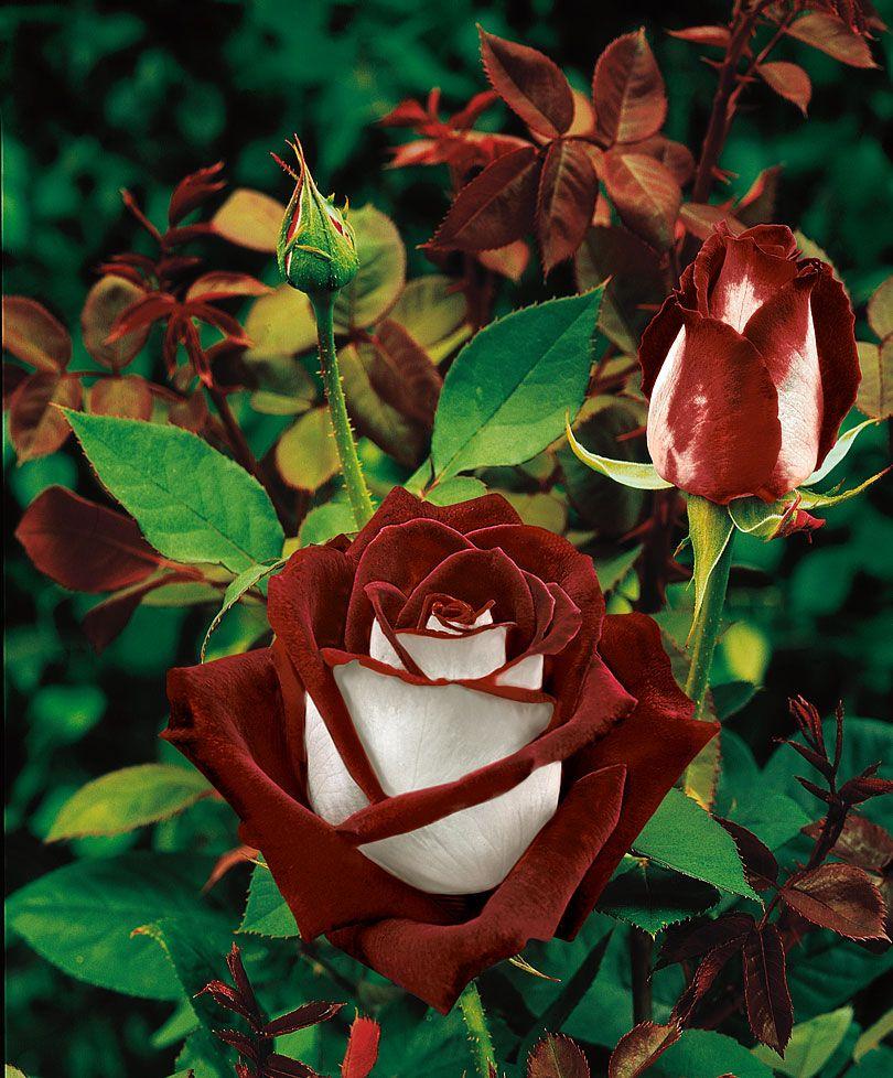 роза гибридная