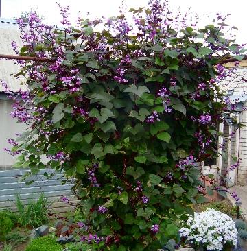 долихос цветок лиана