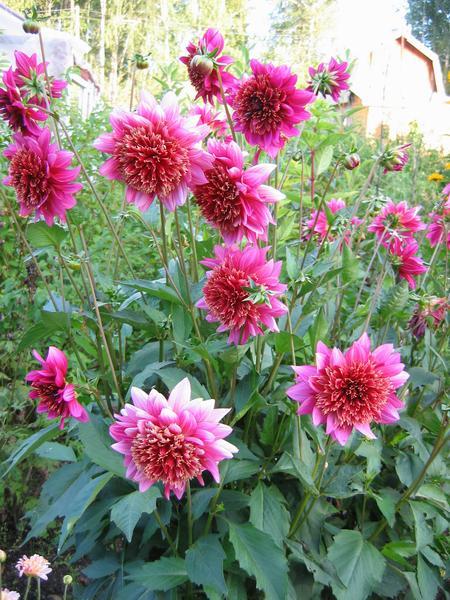 луковичные садовые цветы