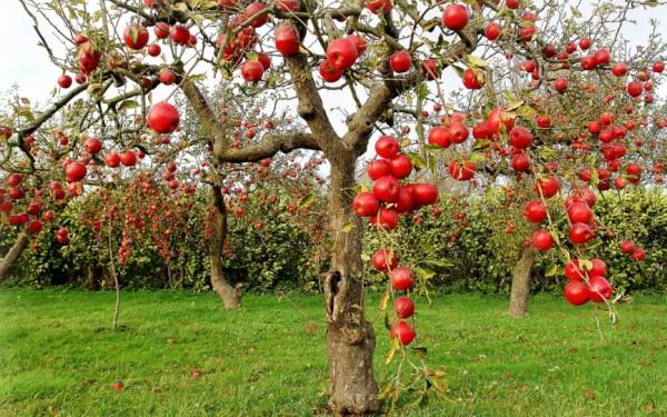 Посадка фруктовых деревьев и кустарников