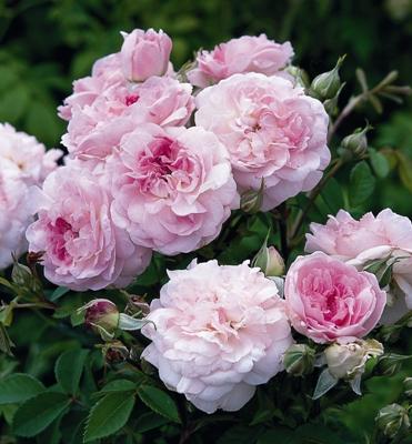 розы английского сорта