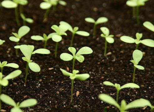 астра многолетняя выращивание