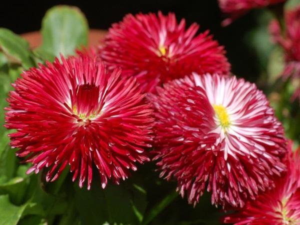 Многолетние неприхотливые цветы для дачи