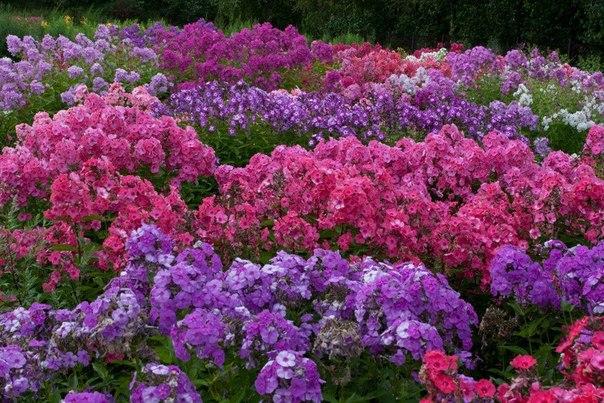 Неприхотливые цветы для дачи многолетники