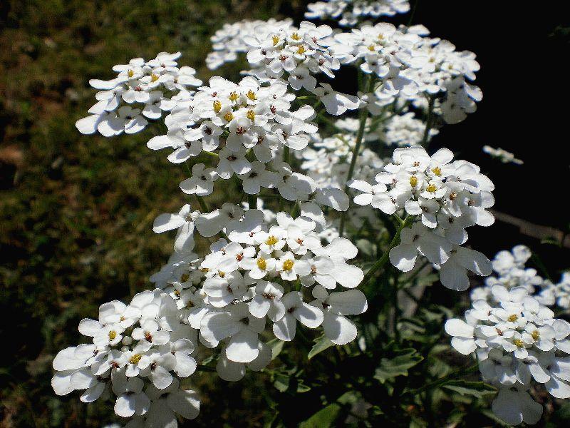 Самые неприхотливые цветы для дачи