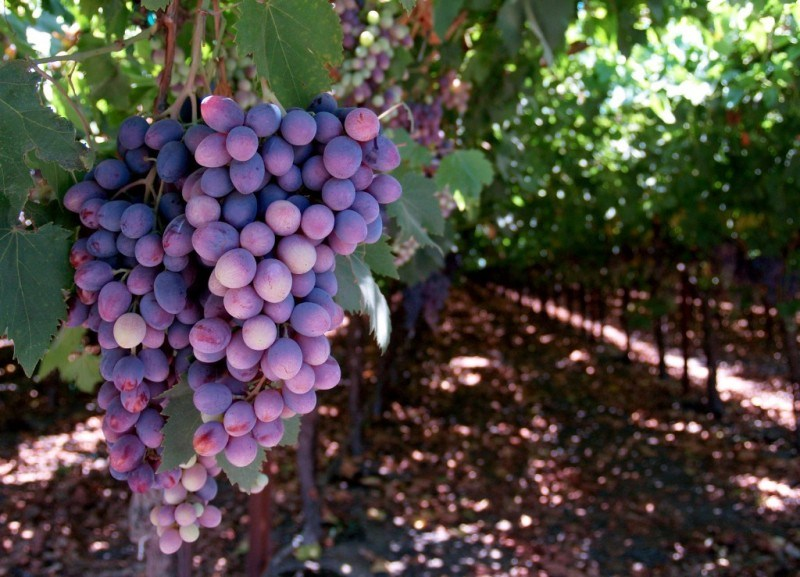 Шпалера под виноград своими руками