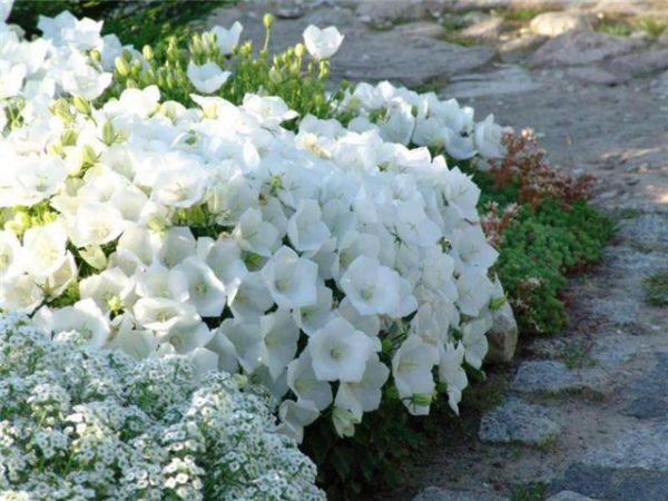 Цветы многолетние низкорослые для дачи