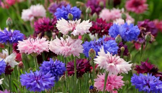 цветы васильки