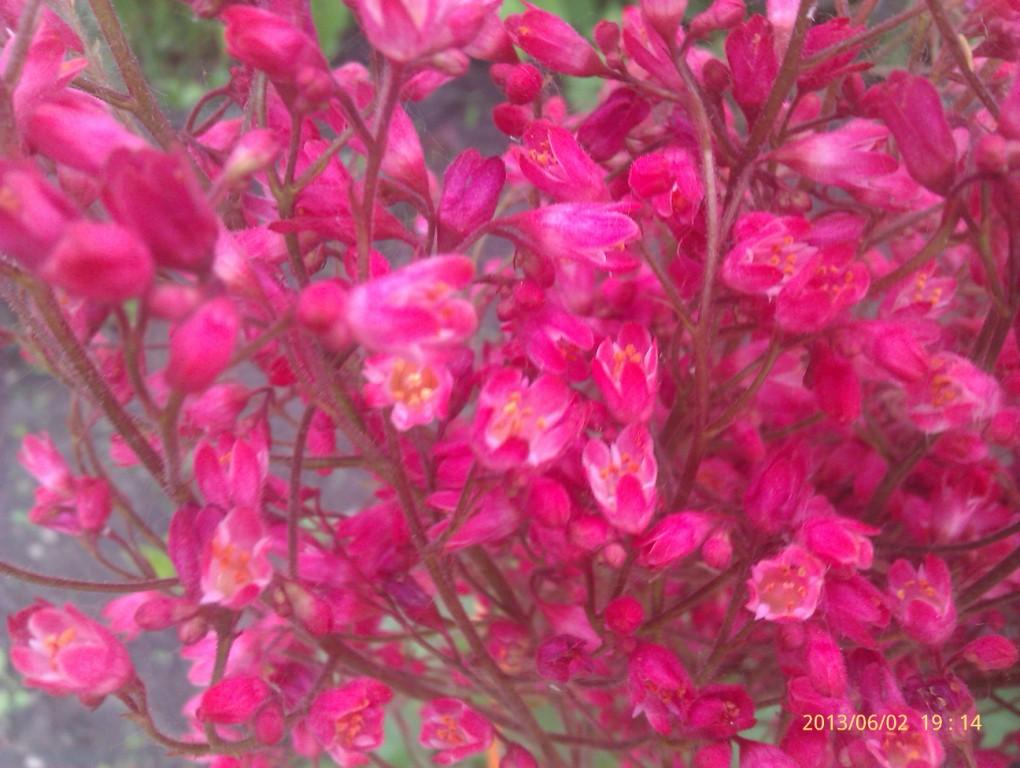 цветок гейхера