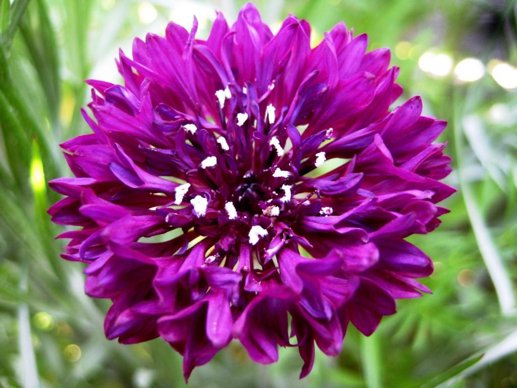 цветок василек фото