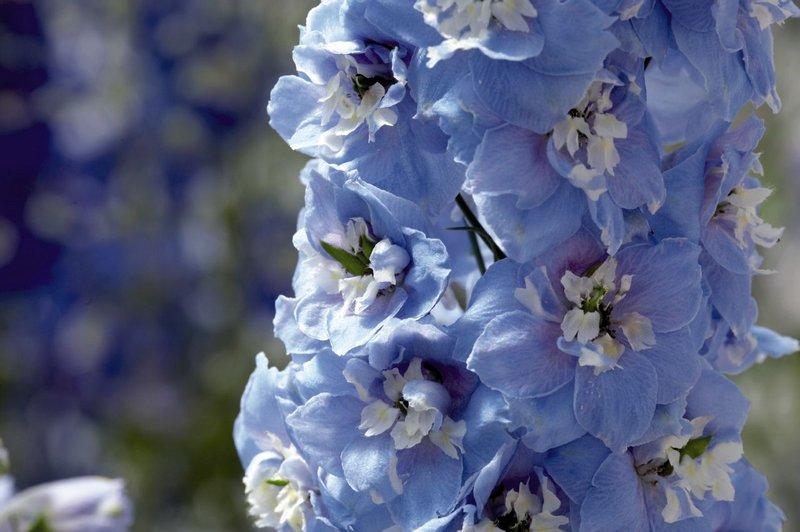 Дельфиниум цветы