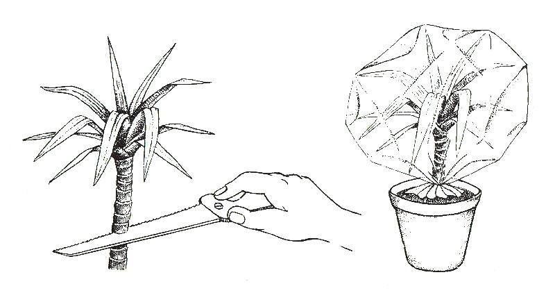 как размножается драцена