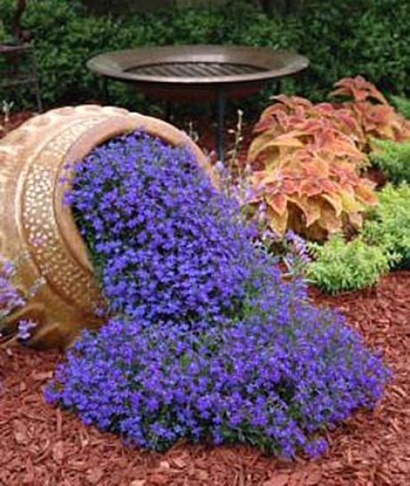 лобелия цветы фото