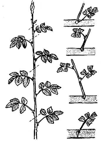 плетистая роза размножение