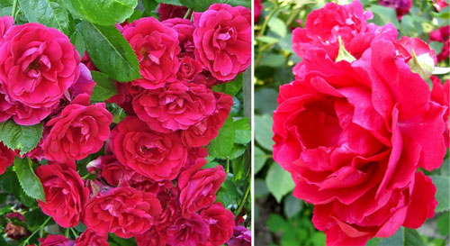 плетистые розы сорта