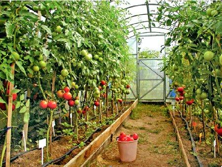 выращивать помидоры в теплице