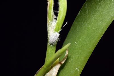 болезни орхидей фаленопсис