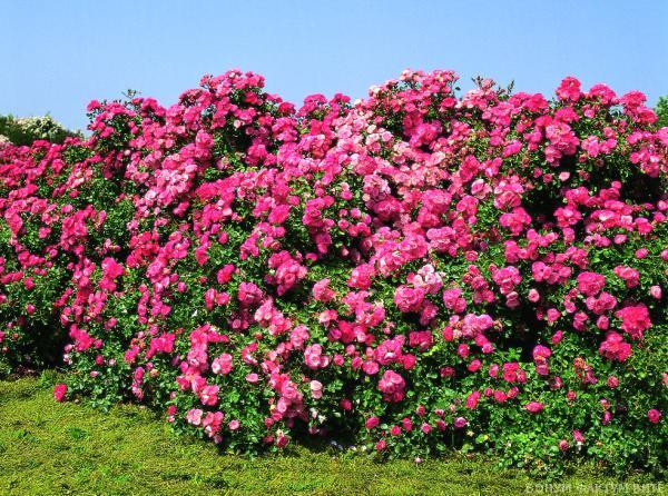 домашние розы уход за ними