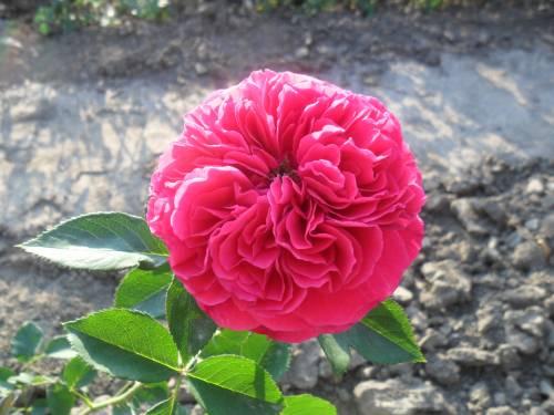 кустовые розы купить