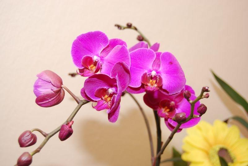орхидея фаленопсис как ухаживать
