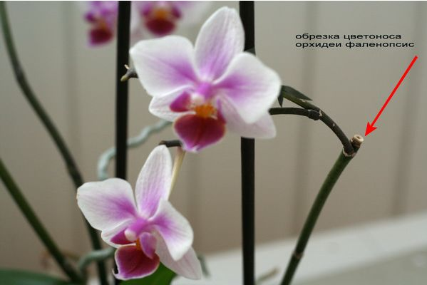 уход и размножение орхидеи