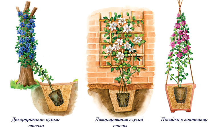 клематисы посадка и уход весной