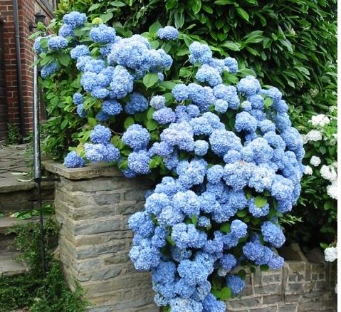 гортензия садовая выращивание и уход